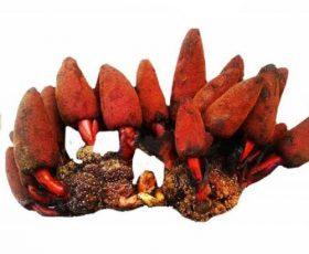 Nấm Tỏa Dương đặc sản Lào Cai