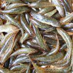 Cá bống sông Trà- Quảng Ngãi